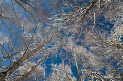Blue sky through snowy branchs Royalty Free Stock Photos