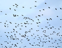 Blue Sky of Starlings Silhouette. A blue sky full of silhouetted European Starling (Sturnus vulgaris) birds flying royalty free stock photos