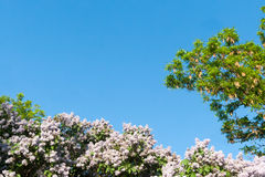 Blue sky with sun and lilac flowers. Stock Image