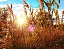 Beautiful reeds in the sun royalty free stock photos