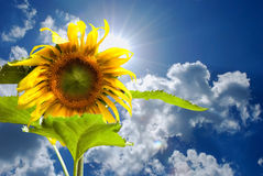 Blue sky and sunflower Stock Photography