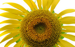 Blue sky with sunflower. Blue sky with yellow sun flower Royalty Free Stock Photography