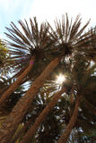 Blue sky and tall palm trees Stock Photography