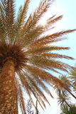 Blue sky and tall palm trees Stock Photo