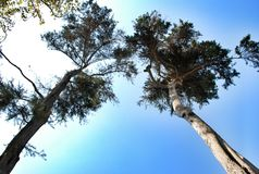 Blue sky and top trees Stock Photos