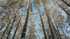 Blue sky and tops of snowy trees. In the winter forest stock footage