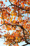 Blue sky and a tree with autumn leaves Stock Photo
