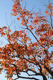 Blue sky and a tree with autumn leaves Stock Photography