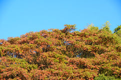 Blue sky and a tree with autumn leaves Royalty Free Stock Photo
