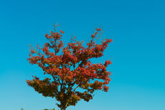 Blue sky and a tree with autumn leaves Royalty Free Stock Photos