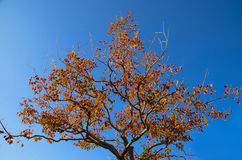 Blue sky and a tree with autumn leaves Royalty Free Stock Image