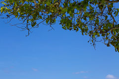 Blue sky and tree leaf Stock Images