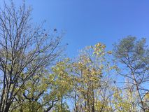 Trees, blue sky. Blue sky and trees. Early autumn. Nature, tree branches Royalty Free Stock Photo
