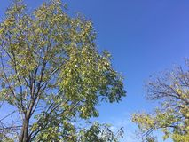 Sky, trees. Blue sky and trees. Nature, early autumn Royalty Free Stock Photos