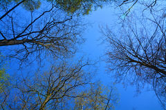 Blue sky between trees Royalty Free Stock Photo