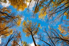 Blue sky, trees top view from bottom to top, autumn stock photography