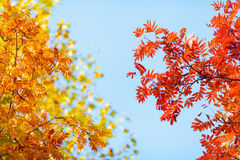 Blue sky among treetops in an autumn park, colourful trees Royalty Free Stock Images