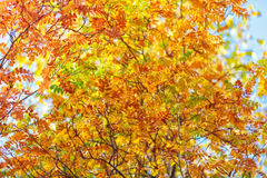 Blue sky among treetops in an autumn park, colourful trees Stock Image