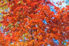 Blue sky among treetops in an autumn park, colourful trees Royalty Free Stock Photos