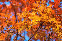 Blue sky among treetops in an autumn park, colourful trees Stock Images