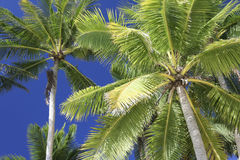 Blue sky tropical palm trees philippines Royalty Free Stock Photo