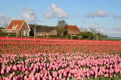 Blue sky and tulip field. In spring royalty free stock photo