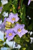 Blue Sky Vine. Latin name Thunbergia grandiflora Stock Photo