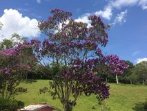 Blue sky and violet flowers. A tree with violet flowers with a blue sky wih some clouds Stock Photography