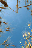Blue sky and wheat Royalty Free Stock Photography