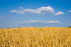 Blue sky and wheat Stock Photo