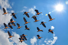 Blue sky with whistling ducks flying Royalty Free Stock Image