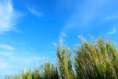 Blue sky and white cloud background with moving grasses in bottom-up view stock images