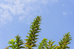 Blue sky white cloud with tree foreground Royalty Free Stock Photos