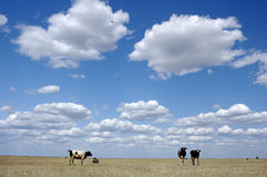 Blue sky, white clouds, cows. Beautiful blue sky and white clouds floating on grassland on dairy cattle in the grazing Royalty Free Stock Photo