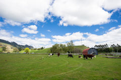 Blue sky and white clouds grass. New Zealand's beautiful ranch Cows rest in the grass Stock Photo