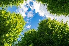 Blue sky with white clouds and green tree tops in the foreground. Seen from below Stock Images