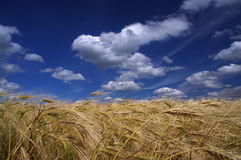 Blue sky with white clouds. Over wheat field Royalty Free Stock Image