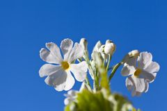 Blue sky and white flowers of Primula Stock Photo