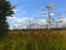 Blue sky wildflower. Wildflower kent field sunny summer fluffyclouds Stock Photography