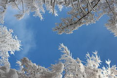 Blue sky and winter forest. Winter tree tops covered with fresh snow on blue sky background Royalty Free Stock Photos