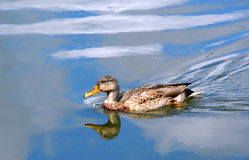 Blue Sky on the Yahara River. Female, Mallard duck glides across a reflected, blue sky on the Yahara River in Wisconsin Royalty Free Stock Images
