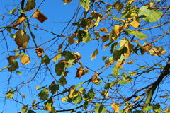 Blue Sky with yellow autumn leaves. Blue Sky with yellow, green and brown autumn leaves stock photography