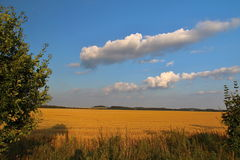Blue Sky and Yellow Grain Field Royalty Free Stock Photos