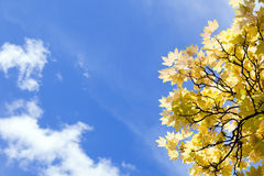 Blue sky and yellow leaves of tree Stock Photos