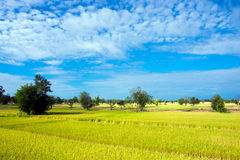 Blue sky and yellow rice field. Landscape of blue sky and yellow rice field royalty free stock photo