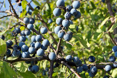 Blue sloes (Prunus spinosa) Stock Images