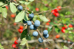 Blue sloes and red sloes Stock Photos