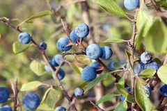 Blue sloes Royalty Free Stock Photos