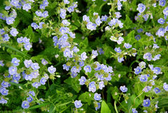 Blue Small Flowers Stock Photos