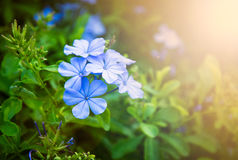 Blue small flowers on a green background stock image